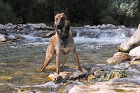 belgian shepherd kelpie cross 15 dog breeds you think you want but probably shouldn u0027t get