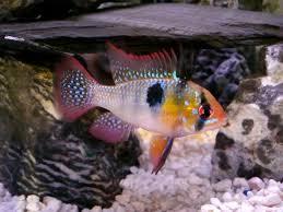 freshwater fish good semi aggressive fish