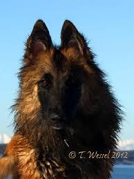 belgian sheepdog breeders uk intention hill belgian shepherds blackbelly sheep
