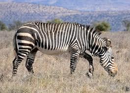 cape mountain zebra wikipedia