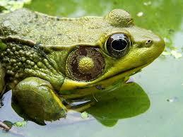 frog animal symbolism a message spirit animal totems