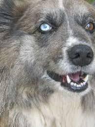 australian shepherd issues positive reinforcement dog training