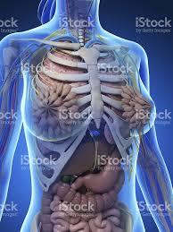 Human Anatomy Upper Body Female Anatomy Upper Body Stock Photo 470858851 Istock