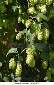 ornamental hops stock photos ornamental hops stock images alamy
