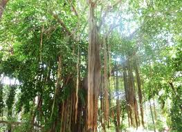 mexico minute mexican banyan tree awol americans