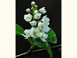 bird cherry prunus padus woodland trust