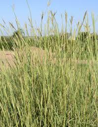 Big Bluestem Ornamental Grass Bamert Seedbig Bluestem Bamert Seed