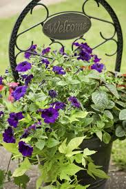 best vines for containers u2013 learn how to grow vines in a pot