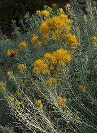 5 native plants rubber rabbitbrush ericameria nauseosa blackfoot native plants