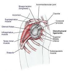 shoulder joint anatomy overview gross anatomy microscopic anatomy
