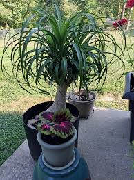 Indoor Trees For The Home by Moving Indoor Plants Outside