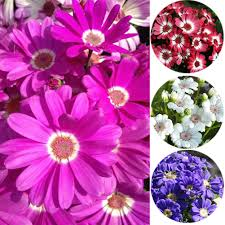 50pcs mixed color cineraria seeds potted plants home garden flower