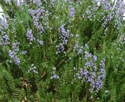 herb rosemary tuscan blue vista growers