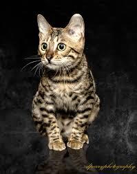 affenpinscher ottawa pets u2013 d parry photography ottawa on