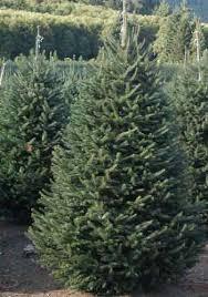 bear canyon tree farm fraser fir christmas trees