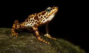new study helps smithsonian scientists prioritize frogs at risk of