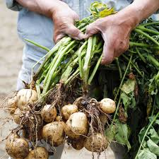 Green Root Vegetable - vegetable harvest and storage planet natural