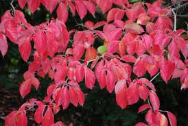 fall color cornus kousa dirt simple