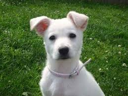 american eskimo dog calgary american eskimo dog mix