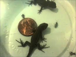 Backyard Reptiles Baby Fence Lizards U0027 First Food Youtube