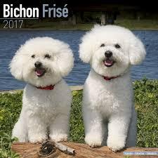 bichon frise x jack russell bichon frise calendar 2017 square amazon co uk avonside