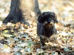 puppy thanksgiving trending puppies u2013 velcro dog