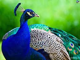 essay on the peacock for students