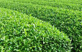 Teh Matcha teh adalah minuman aromatik yang bernama camellia sinensis l
