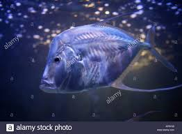 fish in the atlantis hotel aquarium area know as the dig paradise