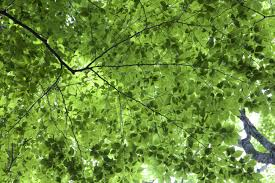 free picture leaves texture green leaves foliage trees leaves