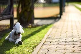 grooming a bedlington terrier puppy bedlington terrier dog breed information pictures