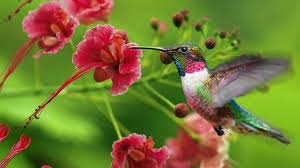 hummingbird with flowers trumpet shaped flowers for hummingbirds