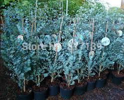 silver drop eucalyptus diy home garden plant 10 seeds eucalyptus gunnii silverdrop tree