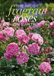 The Most Fragrant Plants - which are the most fragrant roses on earth read our guide to a