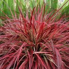 ornamental grasses for sale nature nursery