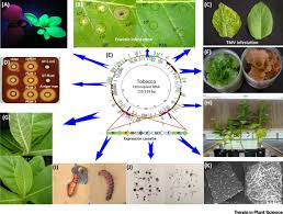 Viral Disease In Plants Page 489 The Engineered Chloroplast Genome Just Got Smarter Trends In Plant