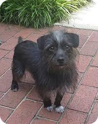 affenpinscher and chihuahua kevin adopted dog mocksville nc affenpinscher cairn terrier mix