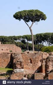 trees on the ruins in the palatino palatine rome the pine