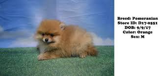 puppies for sale ny puppies for sale new york