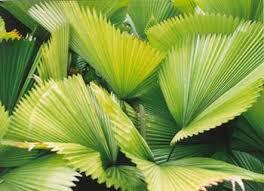 cancellation iv international symposium on ornamental palms