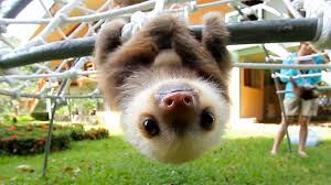 Cute Sloth Meme - what does a sloth say youtube