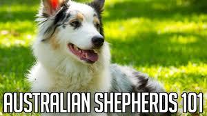australian shepherd in apartment australian shepherds right dog for you youtube