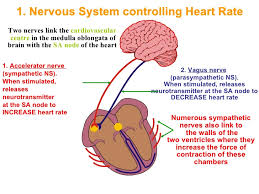 What Is The Main Function Of The Medulla Oblongata Control Of Heart Rate
