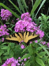 pollinators of native plants new studies weigh ecological value of native cultivars u2013 wild roots