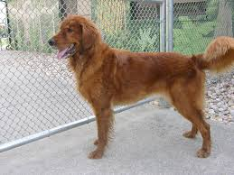 australian shepherd spaniel mix golden cocker retriever golden retriever and cocker spaniel mix