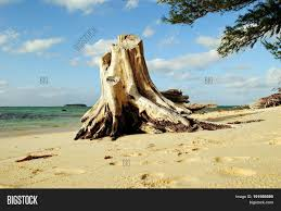 Micro Beach by Dead Tree Stump Left At Micro Beach Saipan A Huge Stump Of A Dead