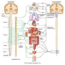 all parts of nervous system presentation name on emaze human