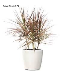 ornamental plant dracaena bitricolor ornamental plant small