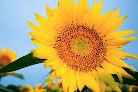 grinter u0027s sunflowers back in bloom news kansan com