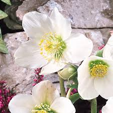 helleborus niger roses